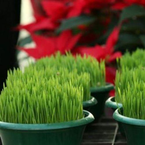 Утре се сади Божиќна пченица: Правила за поубава и побогата 2019 година!