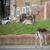 Жителите на Лондон во шок: Елени се одмораат во нивните дворови додека трае карантинот