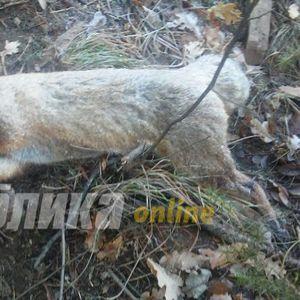 Денеска лисица, утре можеби повредено куче или дете: Некој поставува замки на патеките на Водно