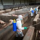 Changing habits: China's pig farms clean up to beat swine fever