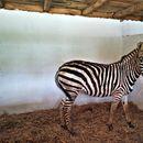 Зебрите Јанош и Јашари стигнаа во скопската Зоолошка