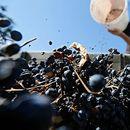 Заврши гроздоберот во Тиквешијата