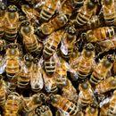 Почна аплицирањето за поврат на средства за набавени пчелни матици, нерези и назимки