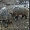 Ловџиите ќе добијат дозвола за отстрел на диви свињи