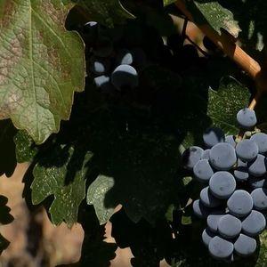 Лозарите од Тиквешијата најавуваат бојкот на откупот поради незадоволство од односот на винариите