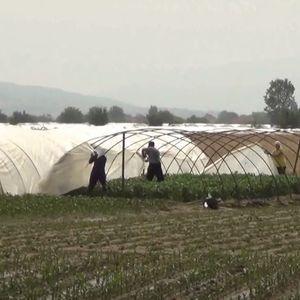 Невреме во Струмица – штети на пиперката за ајвар