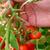 Защо никога не бива да държим доматите в хладилника