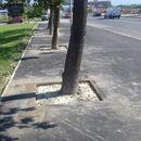 Се ослободија дрвјата од асфалтот (фото)