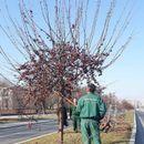 """Кроење на дрворедот на булевар """"Илинденска"""""""