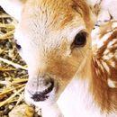 Зоолошката градина доби нов жител - се роди бебе елен