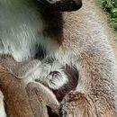 Се роди мало лемурче со име Младен