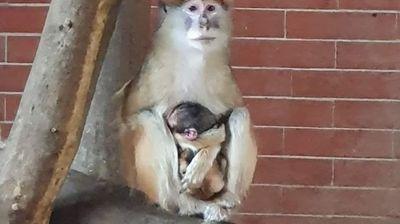 Зоолошката доби бебе мајмун, ќе се вика Атиџе ако е женско