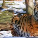 Тигар во Њујорк заразен со коронавирус, но нема докази дека животните можат да го шират