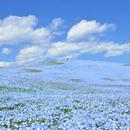 Најпознатиот јапонски парк на цвеќиња е во полн цут, Но оваа пролет е без посетители