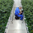 Новозеланѓаните силно поделени во пресрет на гласањето за легализирање на марихуаната
