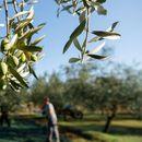 Хрватскиот регион Истра за 15 години стана еден од најдобрите светски производители на маслиново масло