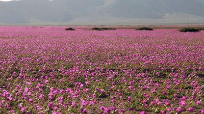 Атакама е најсувото место на светот, но на периоди се претвора во цветна пустина