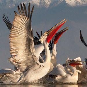 Възстановява се популацията на къдроглавия пеликан у нас