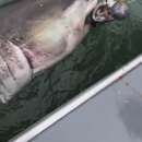 Fishermen snag great white shark near Alcatraz Island: 'It was like winning the lottery'