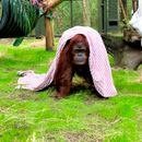 Sandra the orangutan, granted legal personhood, settles into new home in Florida