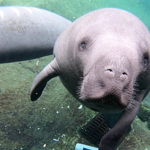 More manatees were killed by Florida boaters in 2019 than ever before