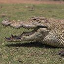 Krokodil na rivi na Visu