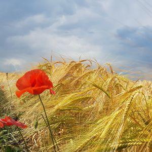 Prosečan prinos pšenice preko 4 tone po hektaru