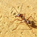 Най-бързите мравки в света живеят в Сахара