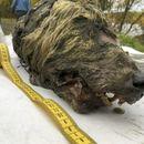Во Сибир пронајдена глава на волк стара 40 000 години, целосно сочувана