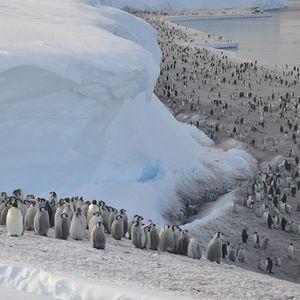 Илјадници бебиња царски пингвини се удавиле во морето кога тешките временски услови го уништиле ледникот на кој живееле.