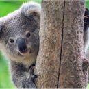 Еден од најубавите видови е пред изумирање: Минатата година умреле илјадници коали поради топлотните бранови
