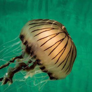 """Какво """"чудовиште"""" доаѓа од длабочините: Тргнале да нуркаат, а потоа наишле на медуза поголема од човек"""