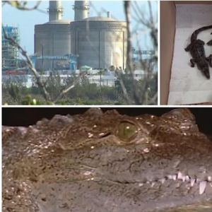 Што крие оваа американска нуклеарка? Турки поинт е магнет за крокодили! Тоа им е омилено гнездо