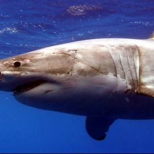 Страшен напад на бела ајкула врз нуркач - камерата ја забележала борбата за живот или смрт