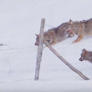 Погледнете како ова куче го надмудрило чопорот волци и успеало да спаси жива глава