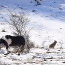 Гладен чопор волци го опкружиле коњот - неговата реакција никој не ја очекувал
