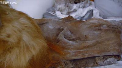 """Руски и јапонски научници успеаја да """"разбудат"""" клетки на мамут"""