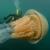 Во Британија снимена џиновска медуза, голема колку човек