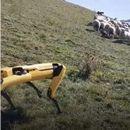 Куче-робот носи овци на пасиште