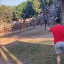 Влегол во кафез да јава жирафа! Што не влезе кај лавот или мечката? (ВИДЕО)
