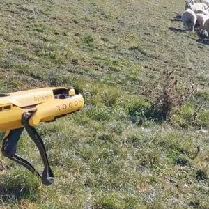 Овчарскиот пес заминува во историјата: Робот чува овци