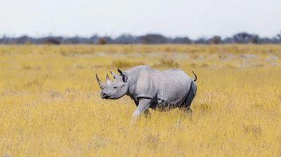 Spasena skoro izumrla vrsta nosoroga