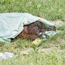 I njima je vruće: Orangutani se rashlađuju vodom