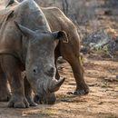 Naučnici našli način da spasu vrstu severnog belog nosoroga