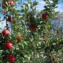 Почна пријавувањето за финансиска поддршка за јаболката од реколтата 2018