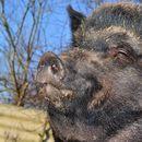 OPSADNO STANJE MEĐU BEOGRAĐANIMA: Divlje svinje, zmije, gmizavcni na ulicama glavnog grada!