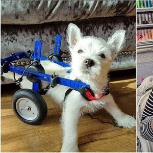 Луѓе со срце! Кученце со парализирани задни нозе конечно може да оди, благодарение на донации