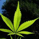 Pančevačka policija zaplenila blizu 800 stabljika marihuane