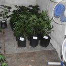 Uhapšeni zbog gajenja marihuane u Novoj Crnji
