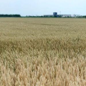 Poljoprivrednici Banata: Netačne tvrdnje da je pšenica skupa u Srbiji